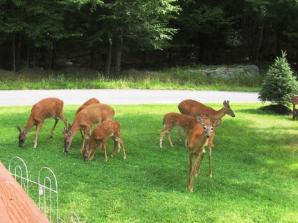 Darling deer in the Pocono Mountains
